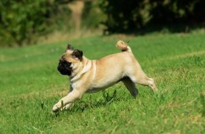 pug playing outdoor