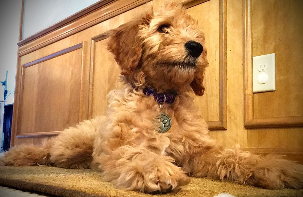 Miniature Goldendoodles – Making Your House the Perfect Home for Your new Mini Goldendoodle puppy