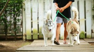 Two Huskies going for a walk with their owner