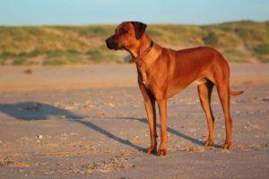 Rhodesian ridgeback hound