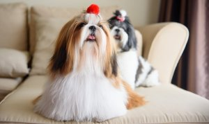 two shih tzu dogs on the couch