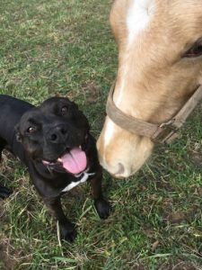Pit bull with horse