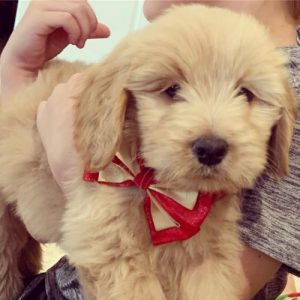 Goldendoodle bow tie