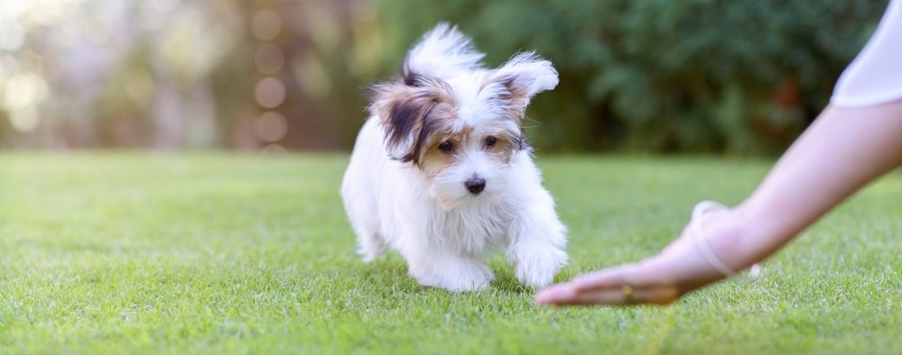 Havanese Training 101 – The Basics of Training your Havanese Puppy