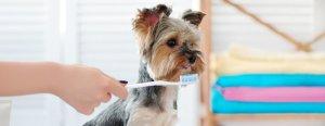 Yorkshire Terrier getting it's teeth brushed