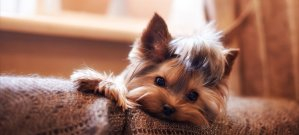 Yorkie laying on the couch