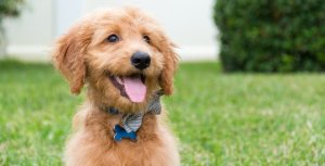 goldendoodle sitting in the yard