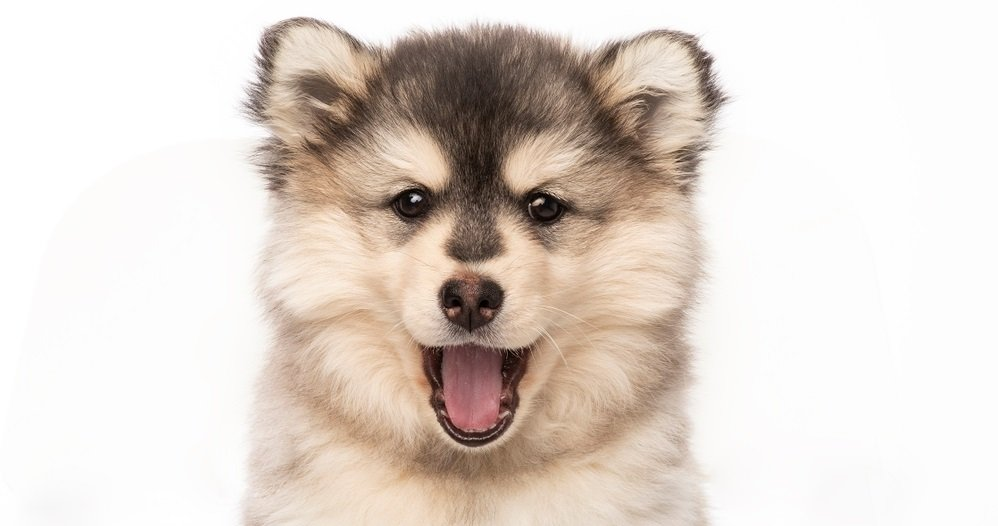 The Healthy Pomsky – Simple Tips to help keep your Pomsky Healthy and Fit