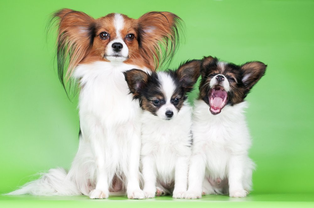 The Friendly Papillon: Tips on Proper Socialization for your Papillon Puppy