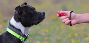 Staffordshire Bull Terrier learning sit command