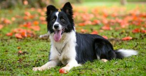 Loyal Border Collie