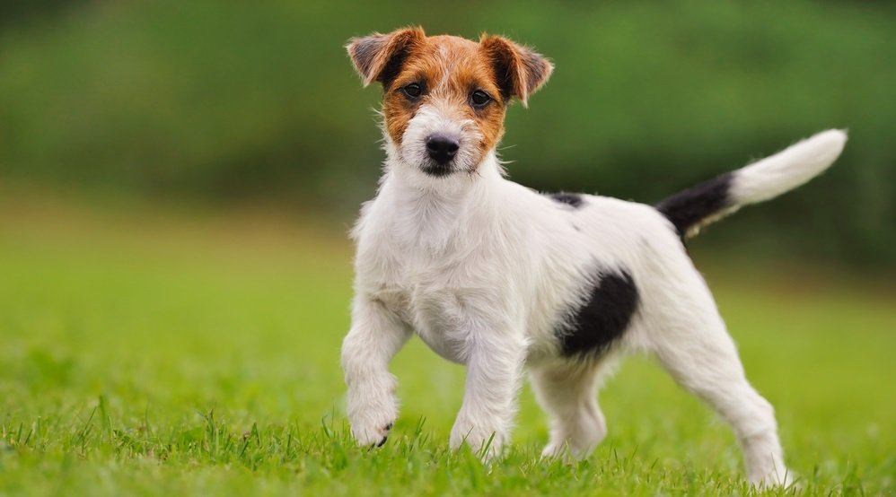 Jack Russell Terriers: Why this High Energy Dog is Not Suited for Couch Potatoes
