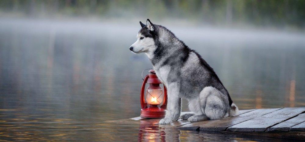 Siberian Huskies: The Howl that Sounds Human