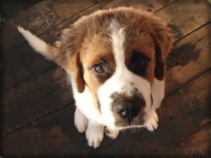 Sad looking st bernard