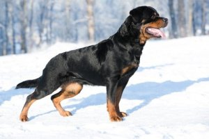 Grooming a Rottweiler