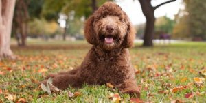 Do labradoodles shed