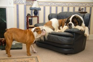 St Bernard on couch