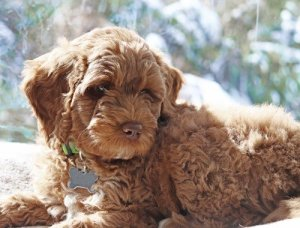 Preparing for a Labradoodle at home