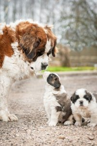 Saint bernard puppy and mom