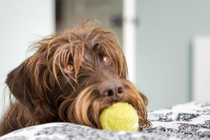 Surprising facts about Labradoodles