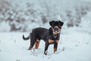 Housetraining a Rottweiler puppy