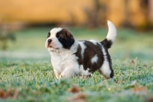 House Training a St Bernard