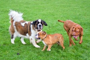 Saint Bernard and other dogs playing