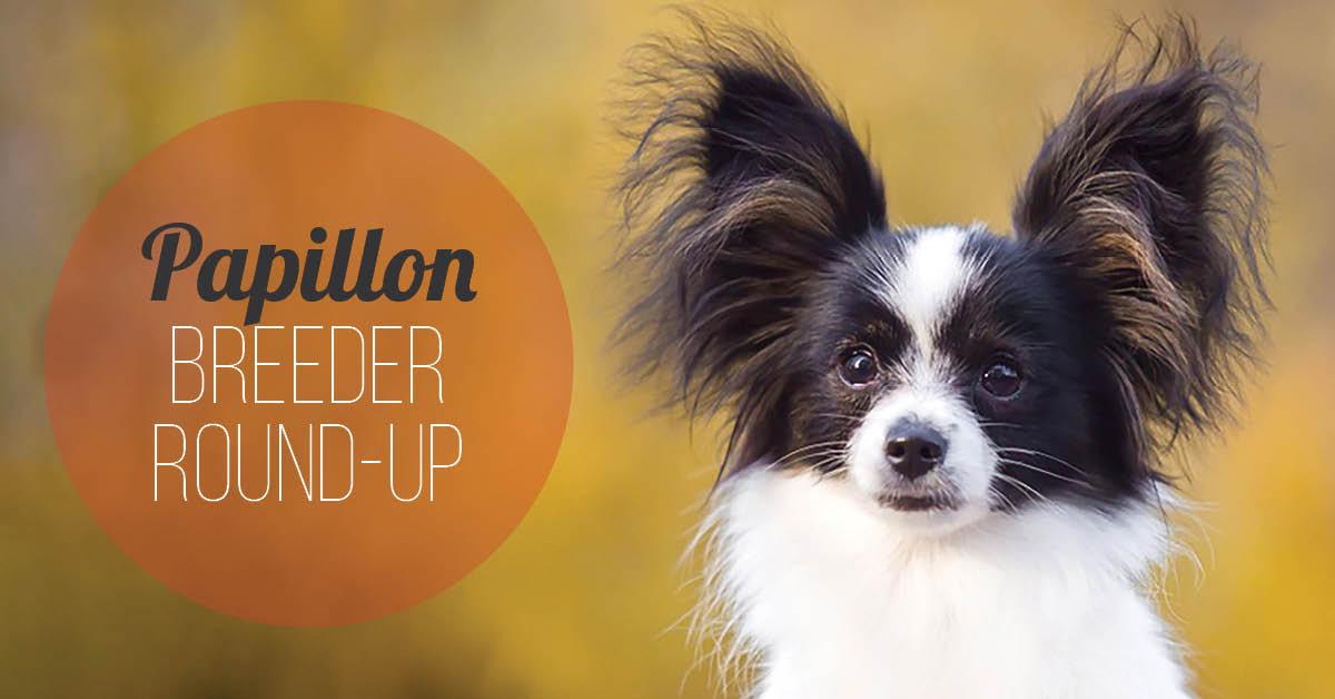 Papillion Breeder Round-Up