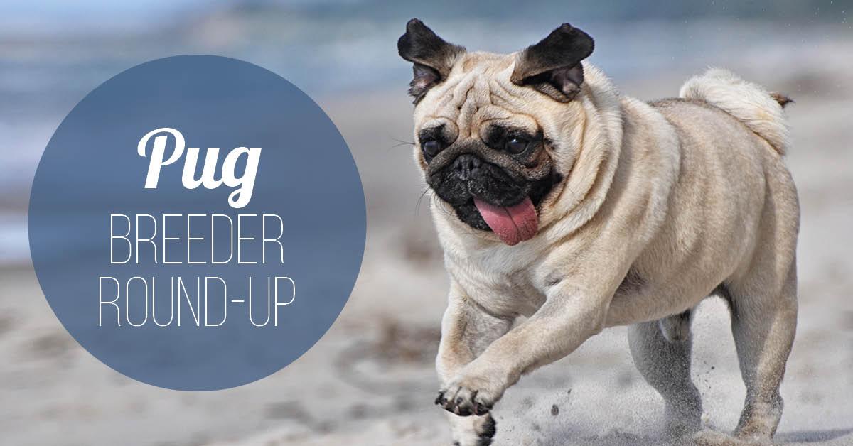 Pug Breeder Round-Up