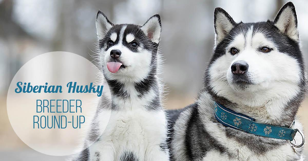 Siberian Husky Breeder Round-Up