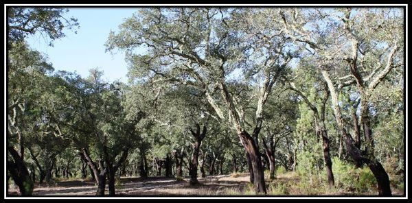 Cork forest and meadow with 9.35 hectares near Muda