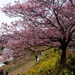 2015年版! 河津桜の見頃はいつ?