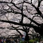 お花見に行こう!東京で楽しめる宴会可能なスポット!