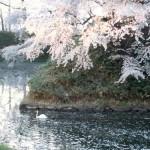 お花見に行こう!弘前公園の桜祭りに利用できる駐車場と裏ワザ
