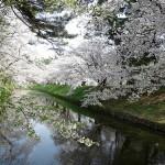 お花見に行こう!壮大なスケールな弘前公園の桜の本数とは