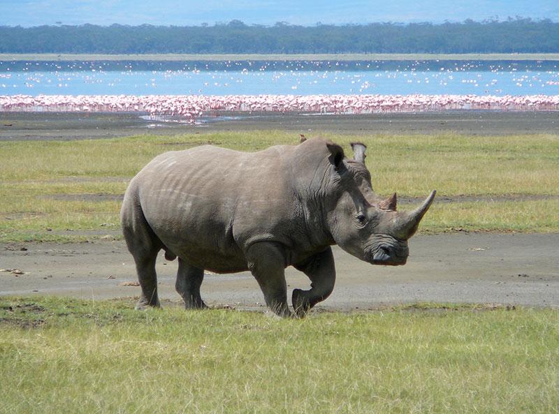 White_Rhino