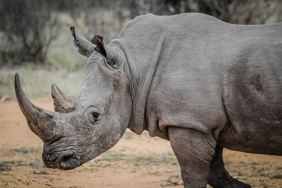 Rhino Horn is Cheaper From a Lab Than From The Wild