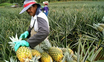 Costa Rican Pineapple Buyers Can Now Guarantee They're Deforestation-Free