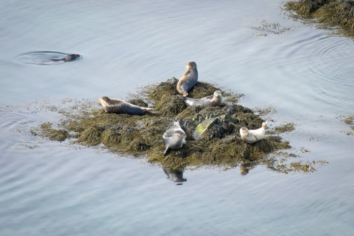 Islandský cestopis: tuleni poblíž Bakkagerdi Island východní fjordy