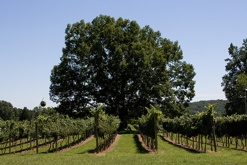 Oakencroft Vineyard