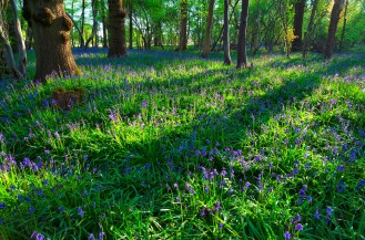 Smallfield bluebells