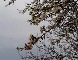 blüten-äste