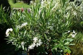 oleander-1