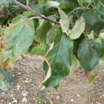 Diagnostic Leaf Atlas Suffolk Fruit And Trees The Fruit Tree Specialists