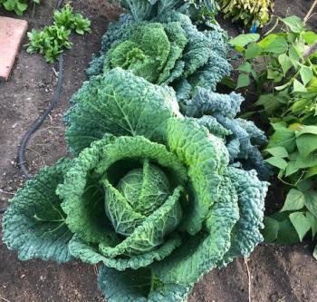 Vegetables in a front yard garden in Bellingham Washington