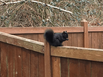 Black squirrel in Bellingham Washington