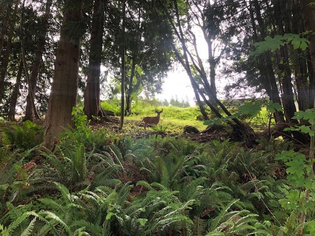Deer in Sudden Valley Bellingham