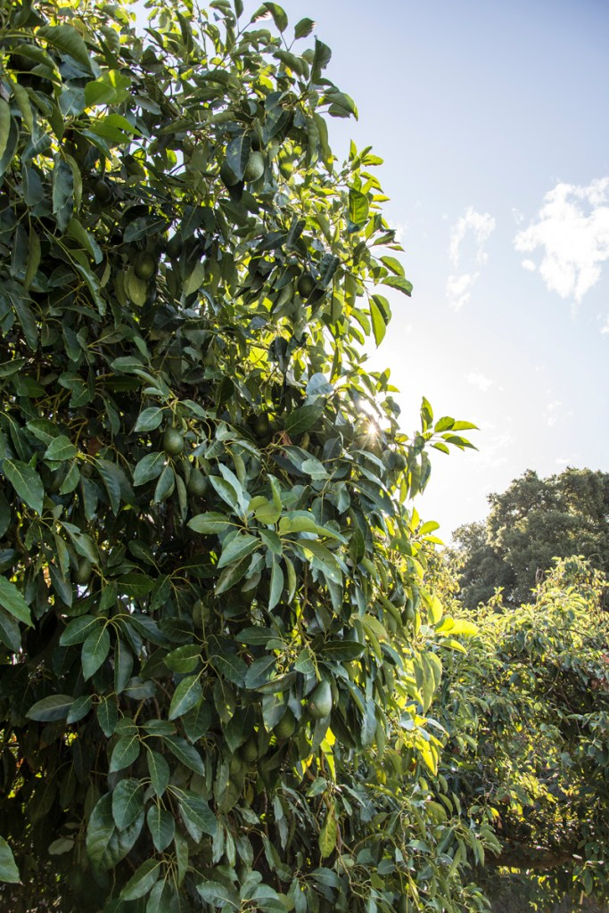 Visiting Our Organic Avocado Farm | A Story of Family, Legacy, and Perfect Produce