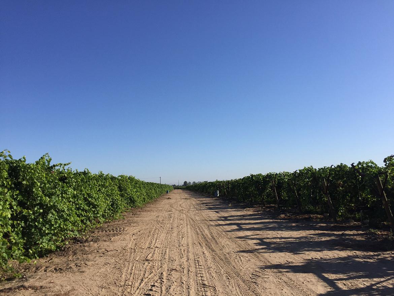 Strawberry Grapes 101 l strawberry grape fields