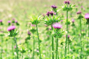 milk-thistle-300x199 Need a Summers End Detox? Mother Nature Has the Cure!